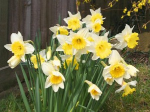 daffodils-pictures_6