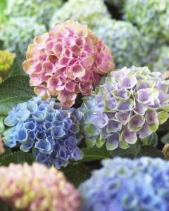 multicolor hydrangea